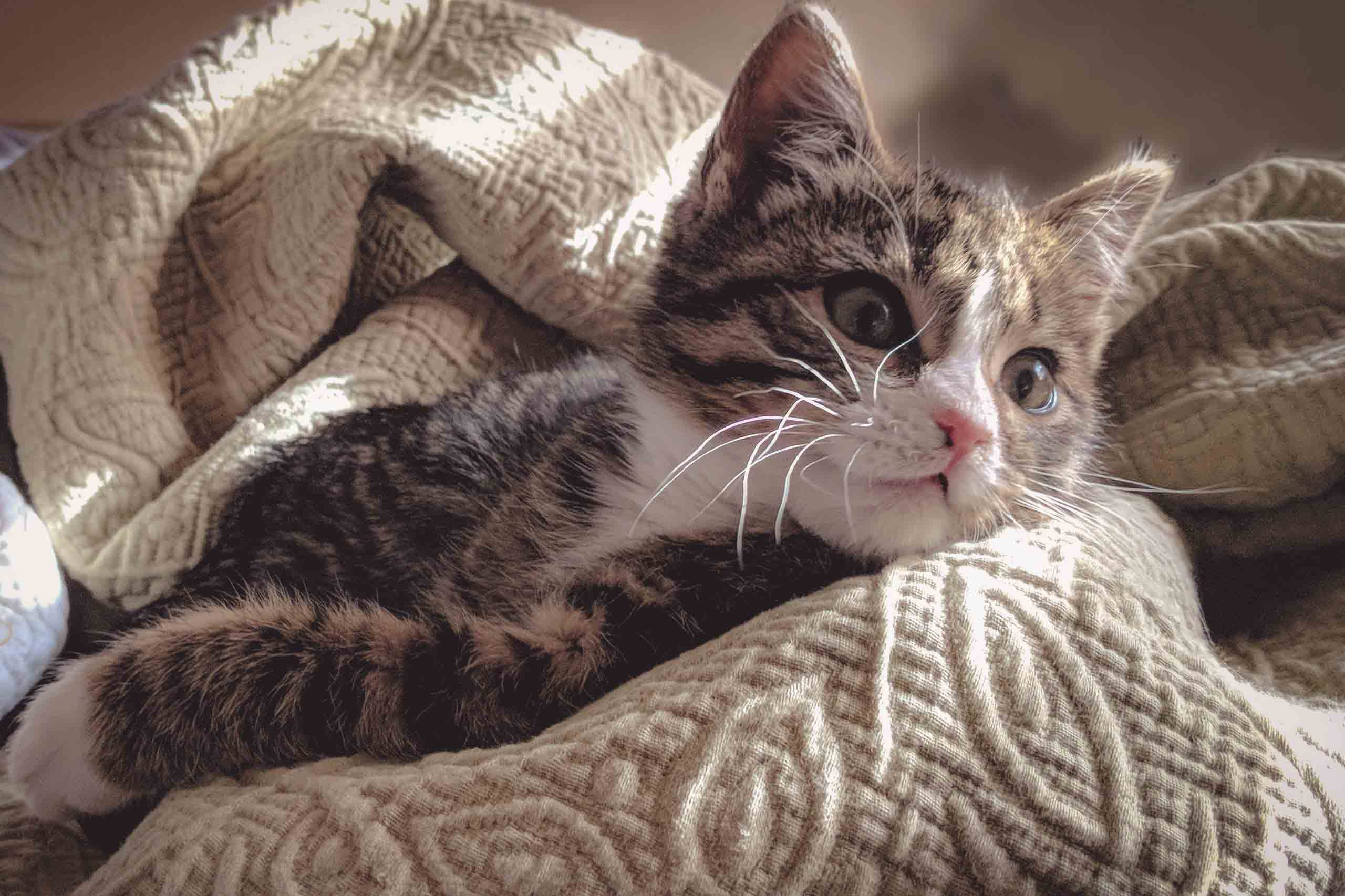 brown-tabby-cat-lying-down